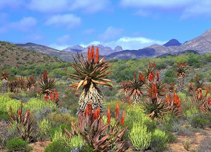 Aloe plants in De Rust, Cape Region, South Africa.
