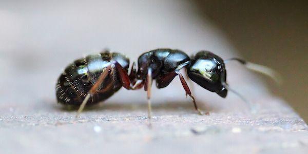 Comment faire contre les invasions de fourmis ?