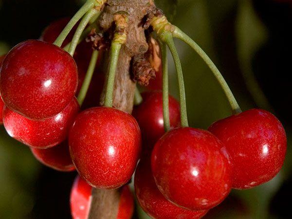 Необычные заготовки из вишни без косточек: цукаты и пьяные вишни