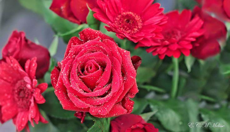 Brotes de Amor: Rosas para ti