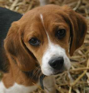 If we get a dog its got to be a beagle