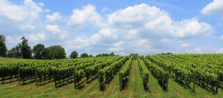Vineyard-South-facing-vertical-rows.jpg (5184×2279)