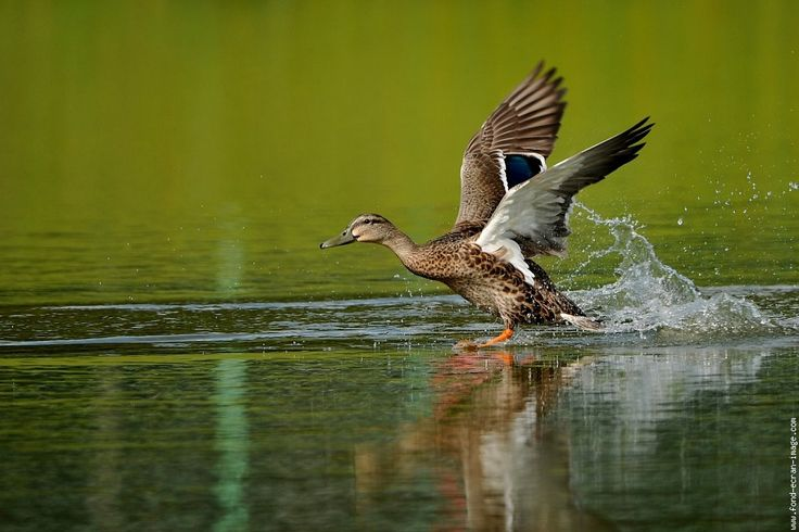 Oiseau canard colvert dsc 1574