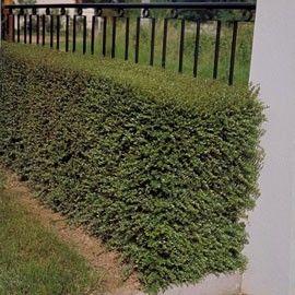 Chèvrefeuille arbustif