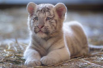 Adorable white tiger cub by  Johan CHABBERT