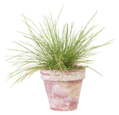 Fresh herbs in containers put fresh flavor close at hand, and they make interesting and useful ornamentals. Grow chives (Allium schoenoprasum) in pots on the porch or patio, or right on the kitchen ...
