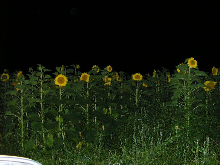 Zonnebloemen bij nacht - onderweg van Thenon naar Saint Léon s/V - juli 2007