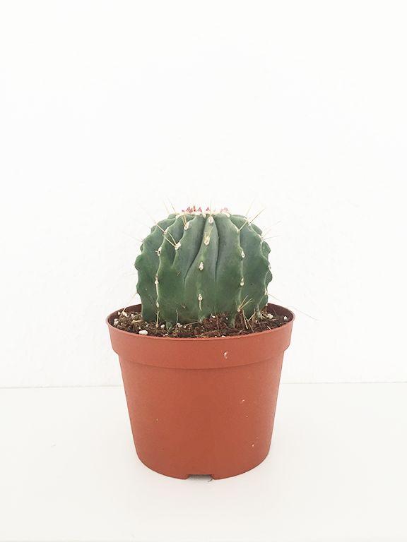 Notocactus   elsker du grønne planter? - Indret dit hjem med lækre grønne sager ☀️