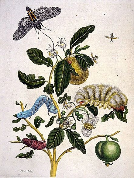 Maria Sybilla Merian: Wooly-haired Megalopygio Caterpiller