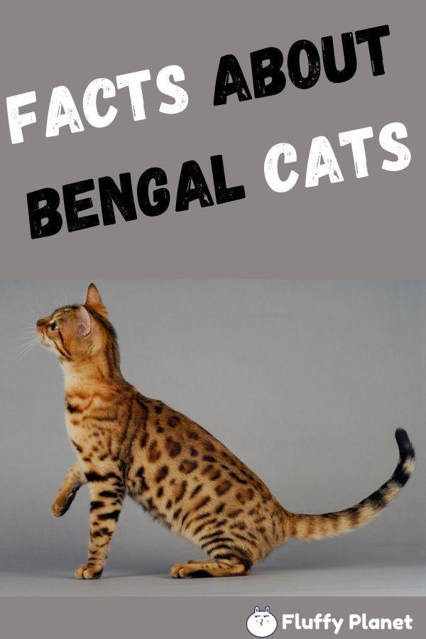 Fakten Uber Bengal Cats Bengal Cats Facts Bengal Cats