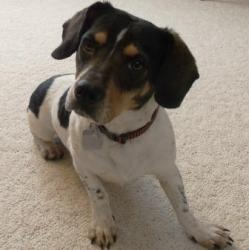 Nell is an #adoptable Dachshund Dog in #Athens, #OHIO. Little Nell is a cute and quiet little girl who would like a quiet home and family to live with. She gets along very well with cats and dogs and has n...