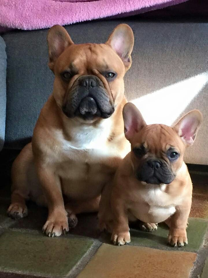 french bulldog adoption florida the 25 best french bulldog rescue florida ideas on 8500