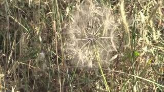 Lizzie Calligas - The field, Lyssarea,Arcadia,GR