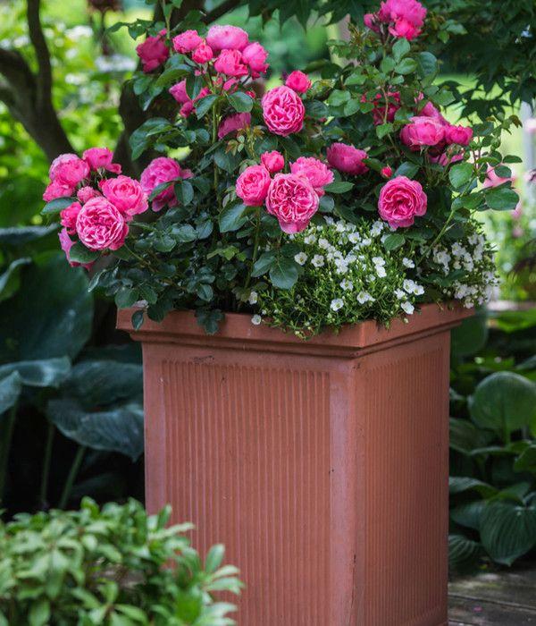 Beetrose Leonardo Da Vinci Dehner Pflanzen Rosensorten Rosen