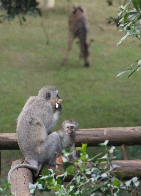 A baby Vervet Monkey looking inquisitively at the strange human taking photos while his mother enjoys a few stolen goods from the Tree Lodge Restaurant