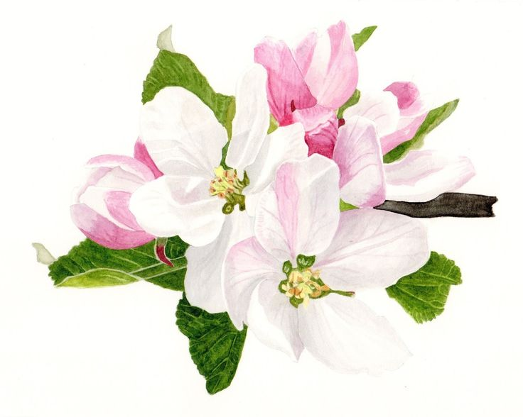 Willy Anderson: Appelbloesem / Apple blossom