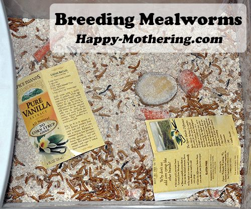 12 Steps to Breeding Mealworms for Chicken Food