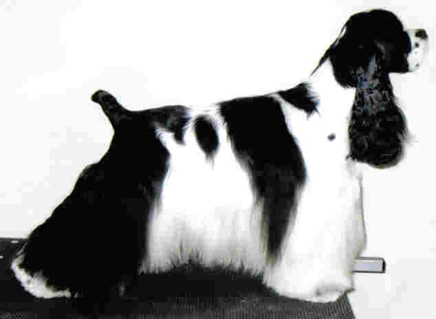 American cocker spaniel, black & white, imaculately groomed