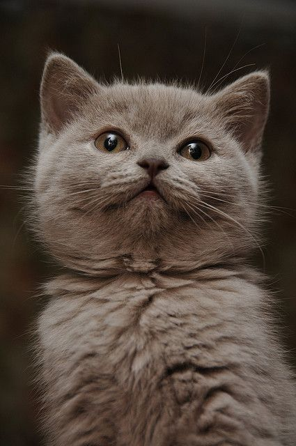 British Shorthair Cat by David CHERMAT, via Flickr