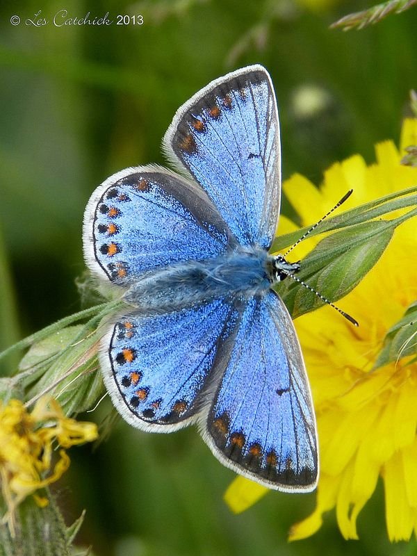 ˚Common blue butterfly - female