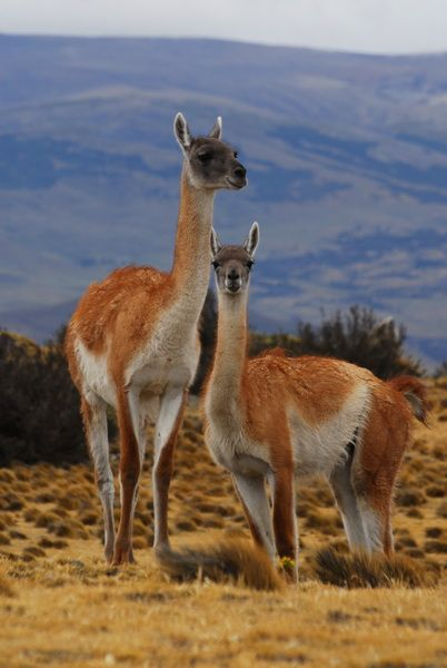 Guanaco, cousin of the llama and alpaca #chile