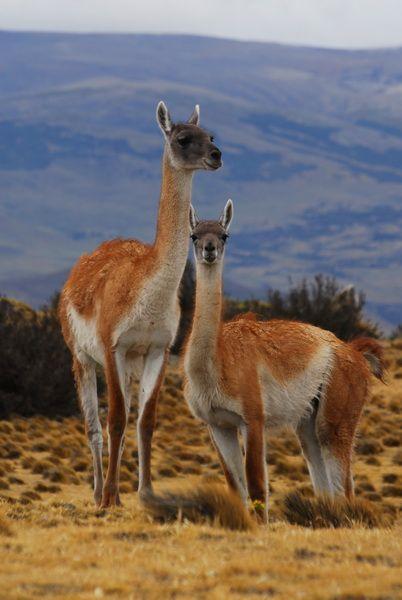 Guanaco, cousin of the llama and alpaca #chile