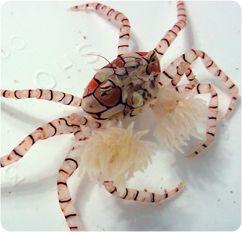 Pom Pom crab.  Coolest crab ever