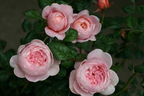 210 best rosengarten images on pinterest cuttings roses garden and garden ideas. Black Bedroom Furniture Sets. Home Design Ideas