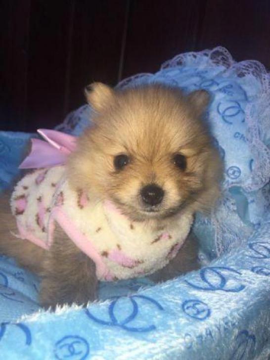 Teacup Toy Pomeranian Puppies For Sale Pomeranianpuppy Pomeranian