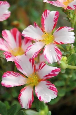 Portulaca  (6/23/2013) Garden: Flowers & Plants(CTS)