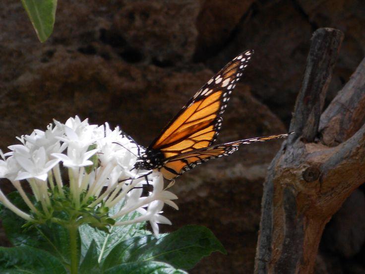barwny motyl z Maspalomas