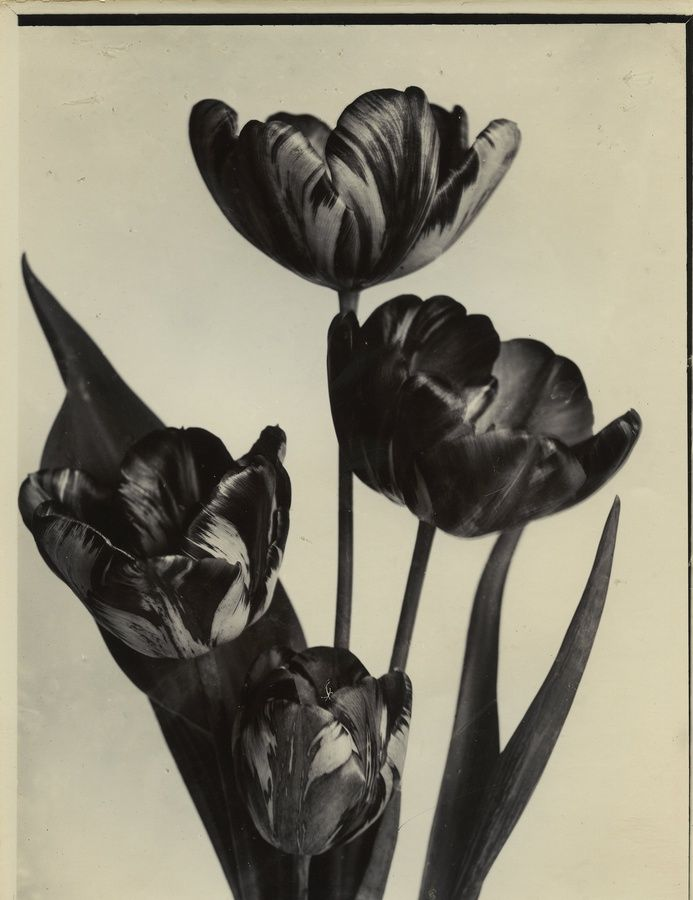 "<div class=""artist""><strong>Charles Jones</strong></div><div class=""title_and_year""><em>Tulips, Rembrandt </em>, c.1900</div><div class=""medium"">Unique gold toned gelatin silver printing out paper</div><div class=""dimensions"">16.3 x 21.6 cm</div><div class=""price"">£5500.00</div>"