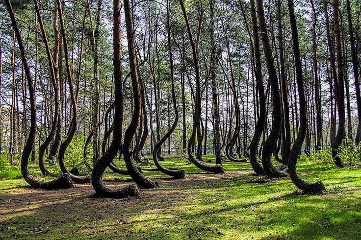 crooked-forest-1/ In a tiny corner in north-west Poland near Gryfino, is a forest of about 400 pine trees that grow with a 90 degree bend at the base of their trunks, before rising vertically again.