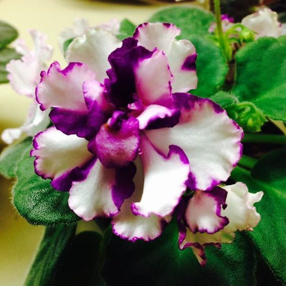 "African Violet ""ness cherry smoke"" double white pansy/cherry ruffled edge. How to care for African Violets http://www.houseplant411.com/houseplant/african-violet-grow-care"