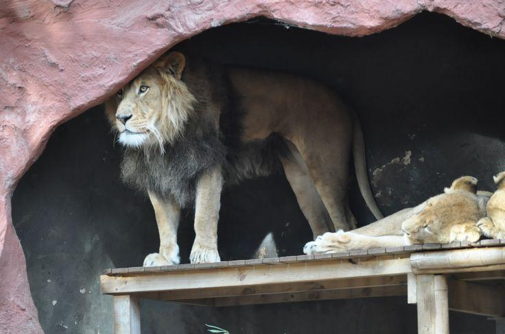 Lion - The Zoo - Australia
