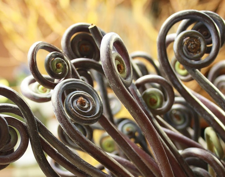 Fiddlehead ferns:  I've always liked these.  Even more-so now that I am obsessed with the fiddle.
