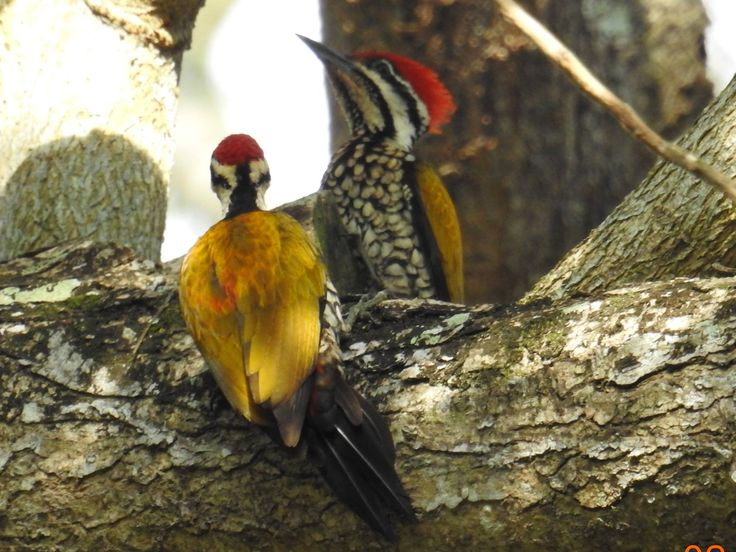 WoodPeckers in Singapore