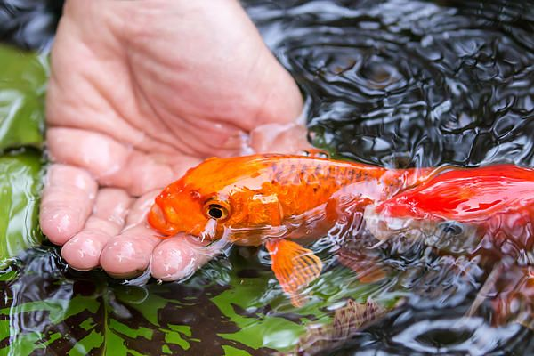 25 best ideas about fish jumps on pinterest dr seuss for Small koi fish