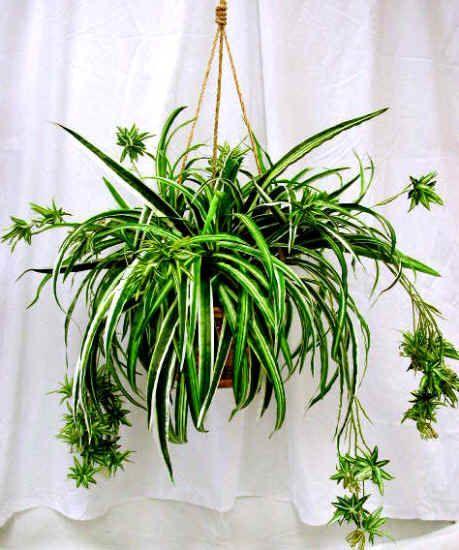 ravishing house plants care. Tyler Greener Living  Spider Plants Chlorophytum Hard to kill plants 41 best Plant images on Pinterest Gardening House