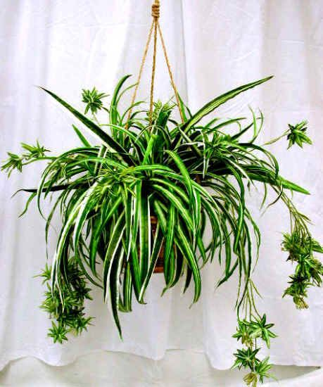 17 Best Ideas About Spider Plants On Pinterest Easy