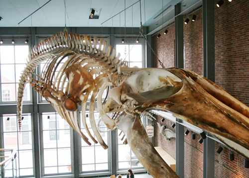 Kobo, the 66-foot skeleton of a rare, juvenile Blue whale that was acquired by the New Bedford Whaling Museum after it was hit & kiiled by a tanker's propeller in the 1990s.: Blue Whale