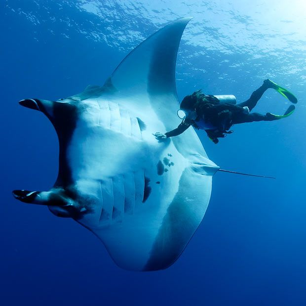 A diver swims in the shadow of a 16-feet wide manta ray. Diver and professional photographer Franco Banfi snapped this in the water off the coast of the Socorro and San Benedicto Islands in the Pacific OceanPicture - I always had trouble imagining the scale of these.