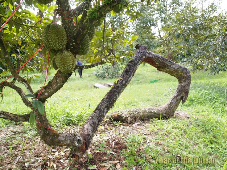 Year of the Durian: So You Want to Plant a Durian Tree
