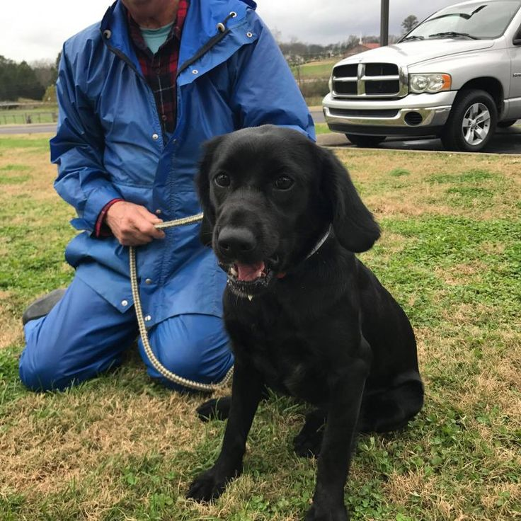 Mary is an adoptable Black Labrador Retriever searching for a forever family near Willington, CT. Use Petfinder to find adoptable pets in your area.