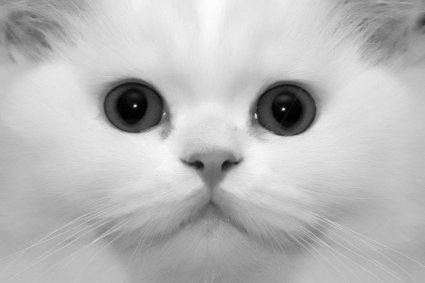 Persian cats are tremendously responsive and become a constant source of joy and delight to their owners. --- Cat Fanciers' Association
