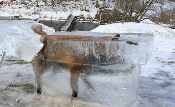 A impressionante imagem de uma raposa congelada dentro de bloco de gelo