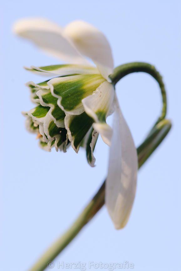 Galanthus 'Titania' '-  Schneeglöckchen