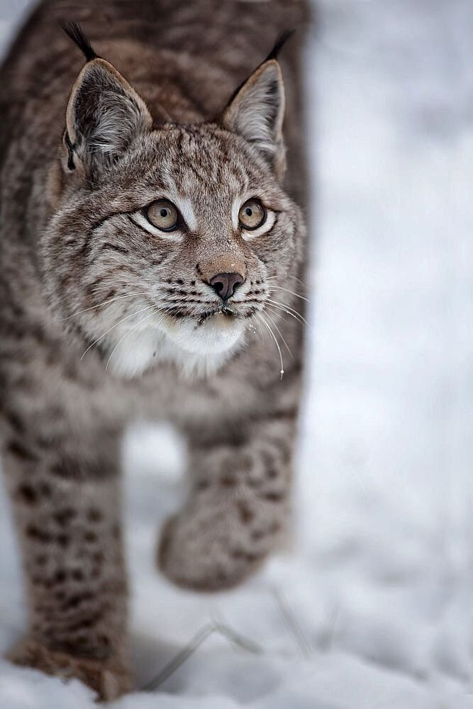 Lynx. Such a pretty kitty!