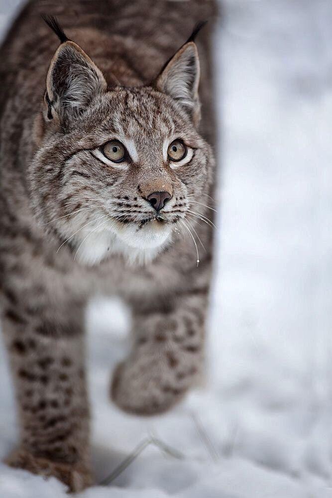 Lynx. Such a pretty kitty!
