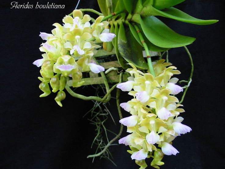 Rare orchid species seedling plant - Aerides lawrenciae | eBay